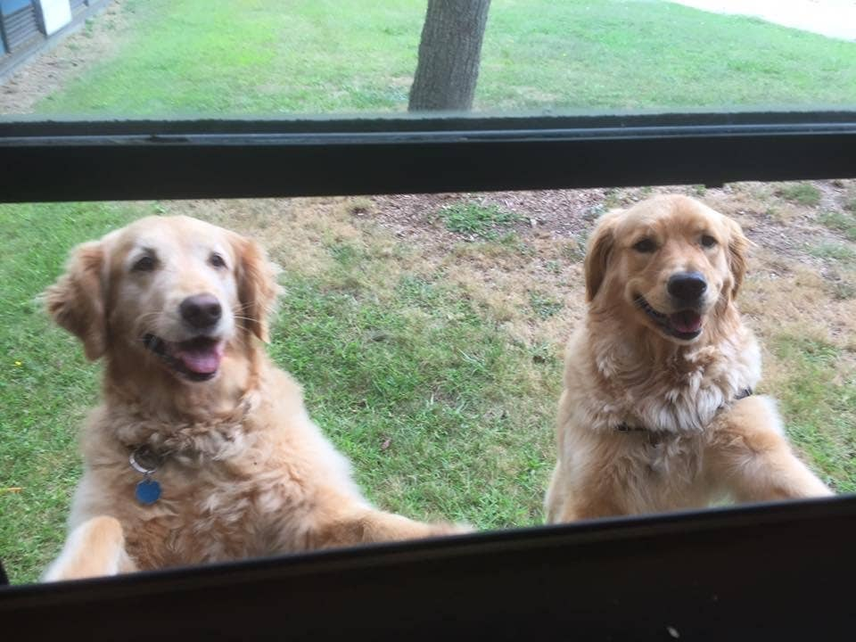 Two golden retrievers at classroom window