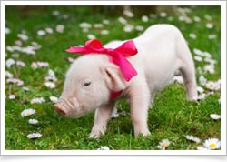 Cute pig with bowtie